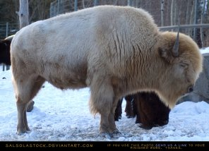 white_bison_eyes_closed_by_salsolastock-d1v5r0y