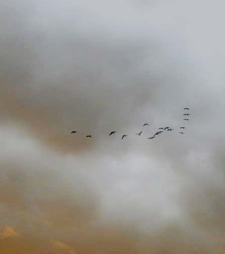 Every winter, cranes fill the skies, heading for the fields all around us.