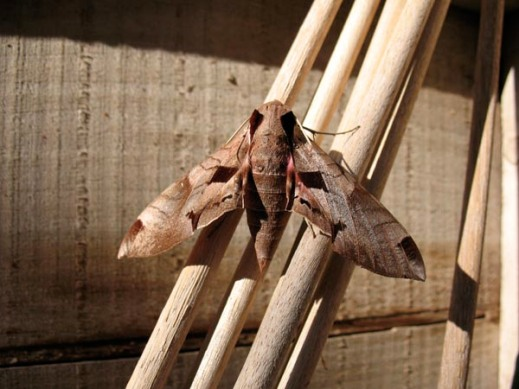 Achemon moth emerged