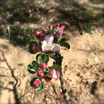 First apple blossom to open in my backyard, for the first day of spring