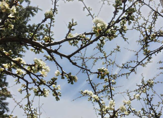 plum blossoms opening