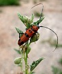longhorn beetle on globe mallow, South Valley