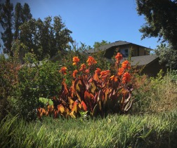 Canna lilies on our street