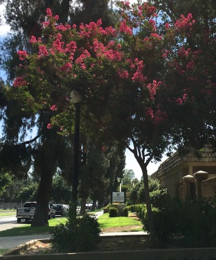 Crape myrtle in front of the apartment, Fresno, summer