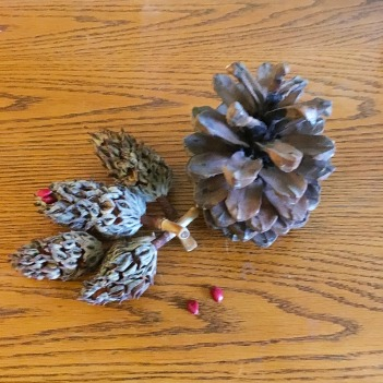 pinecone and magnolia fruits