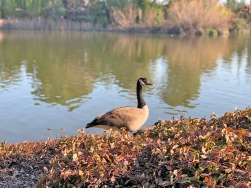 A Canada Goose near the koi pond