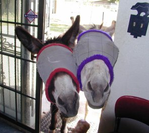 Jasper and Gigi in their summer fly masks, after they smelled us cooking pancakes.