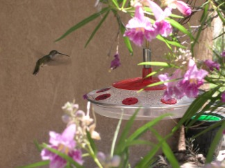 No photos yet of our Anna's Hummingbirds, so here, back in our New Mexico place, the backyard had a desert willow. That tree was a hummingbird oasis, with or without the added feeder. Here's a female blackchin hovering.